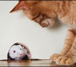 natural predator - cat - how to get rid of mice - http://www.electronicpestcontrol.net/how-to-get-rid-of-mice/