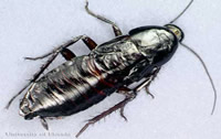 how to get rid of roaches   Oriental Roach