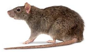 How To Get Rid of Rats | Rat In the Wall, | Rat in the